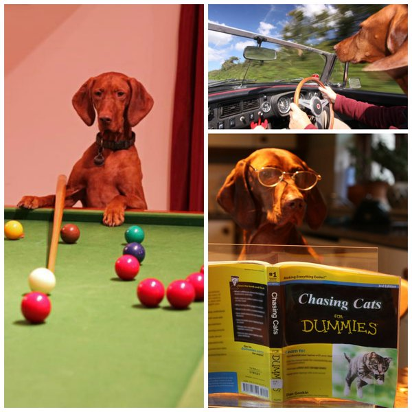 Happy Hooe - Dog playing snooker